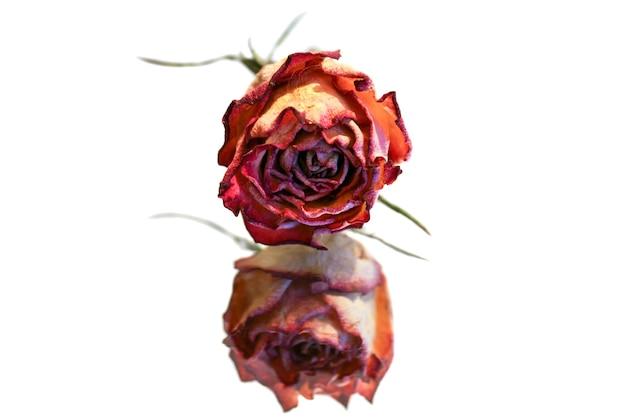 Suszona róża odbijająca się w lustrze na białym tle