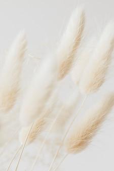 Suszona trawa bunny tail na jasnym tle