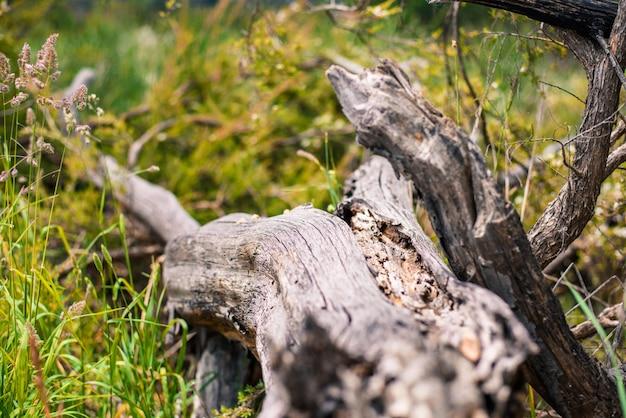 Suszone drzewo pnia