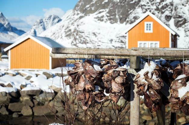Suszone głowy dorsza wiszące na suszarni. lofoty. norwegia