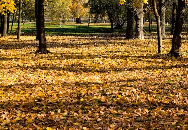 Suszone i opadłe liście klonów liściastych jesienią, prawdziwa jesienna przyroda po południu przy słonecznej pogodzie