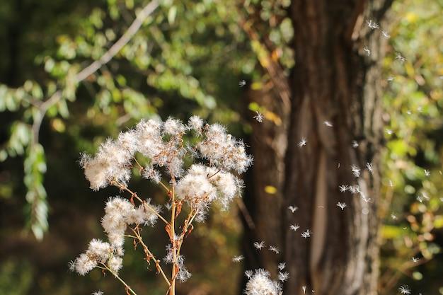 Suszone kwiaty białe. puszysty kwiatostan w kształcie parasola.