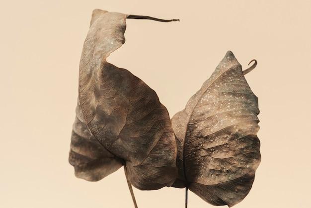 Suszone liście bodhi teksturowane tło