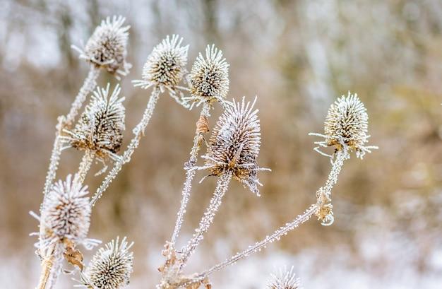 Suszone owoce ostu pokryte zimą szronem_
