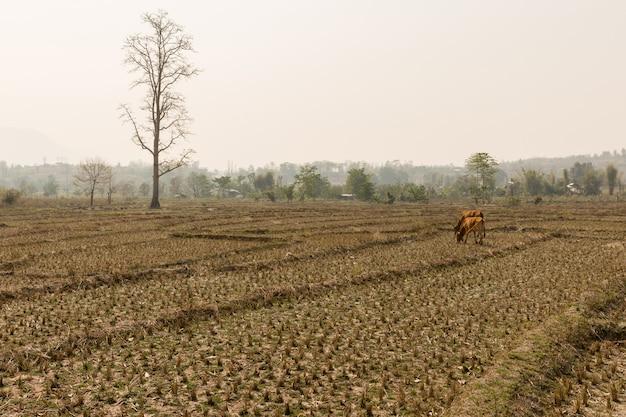 Suszone pole ryżowe. długi okres suszy w północnej tajlandii