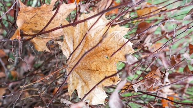 Suszone skręcone brązowe liście krzewów z rozmytym tłem. teksturowana powierzchnia zwiniętych suchych liści gałązek kwiatowych. jesienne blaknięcie natury. streszczenie tło na jesień.