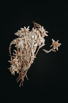 Suszony edelweiss kwiat na białym tle na czarnym tle.