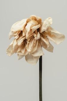 Suszony kwiat tulipana na szarym tle