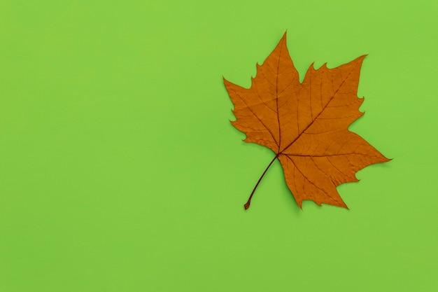 Suszony liść platanu na zielonym tle.