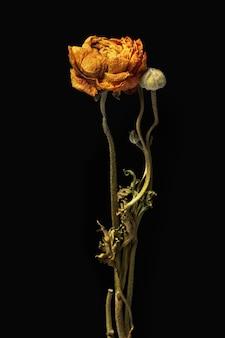 Suszony pomarańczowy kwiat jaskier na czarnym tle
