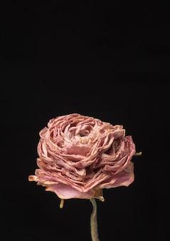 Suszony różowy kwiat jaskry na czarnym tle