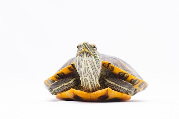 Suwak żółw czerwonolicy (trachemys scripta elegans) samodzielnie na białym tle.