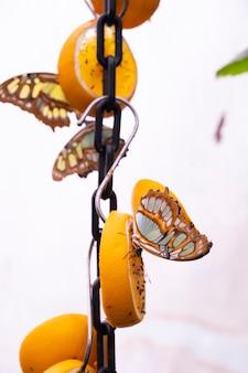 Swallowtail motyl jedzący owoce, papilio machaon zbliżenie z zielonym backround