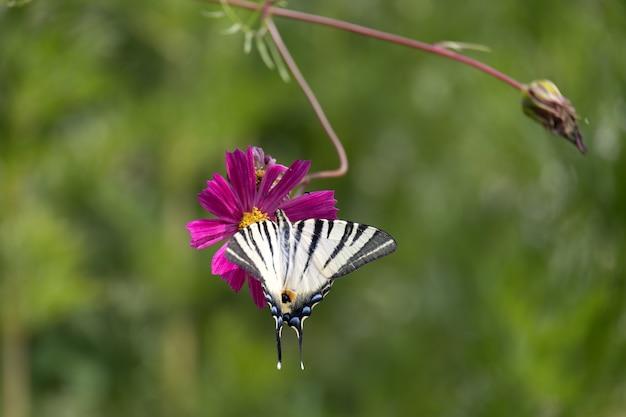 Swallowtail motyl karmiący kwiat kosmosu w bergamo we włoszech