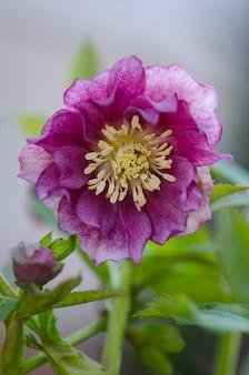 Świąteczna róża lub ciemiernik wiosenne kwiaty, które układają się w półcieniu