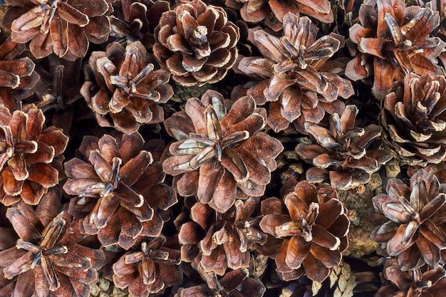 Świąteczne tło suchych szyszek sosnowych