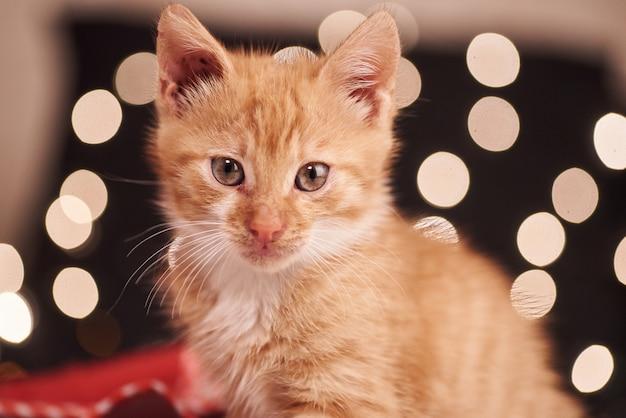 Świąteczny obrazek z ślicznym imbirowym kotem kolorowych świateł na tle