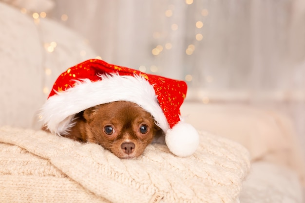 Świąteczny pies chihuahua leżący na łóżku