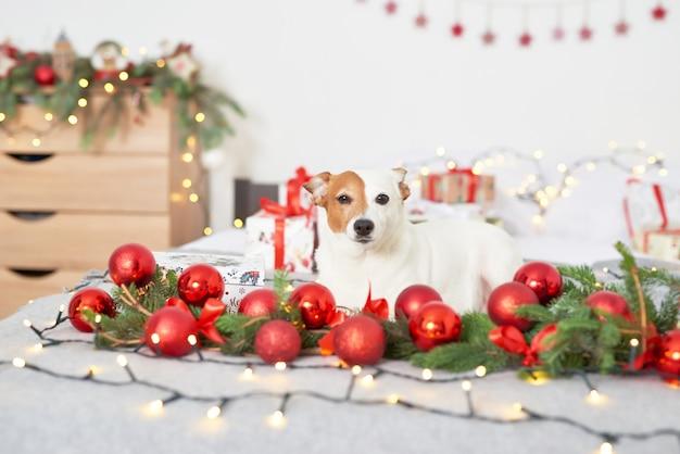 Świąteczny pies jack russell na łóżku w noworocznym wystroju