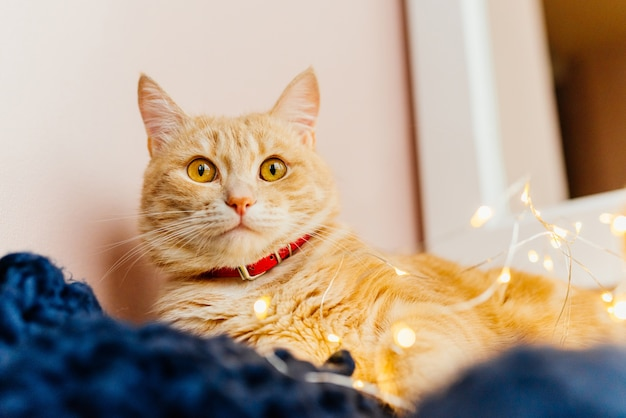 Światła kotów i świąteczne. śliczny imbirowy kota lying on the beach blisko okno i bawić się z światłami.