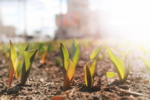 Światło słoneczne na kiełkujących tulipanach