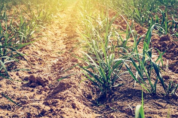 Światło słoneczne nad farmą trzciny cukrowej