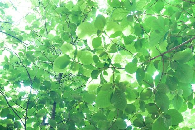 Światło słoneczne przez świeże zielone liście, jasnozielone liście w tle