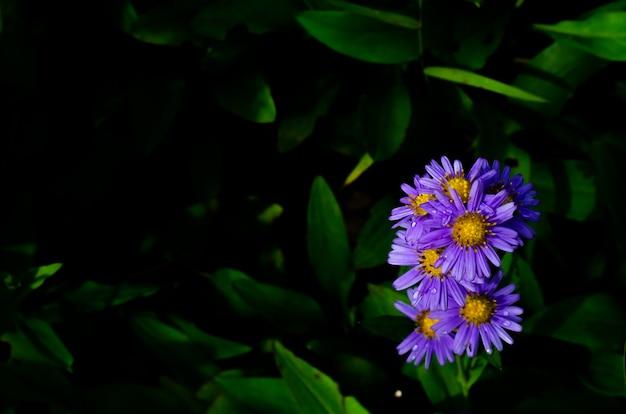 Światło słoneczne świecące w liliowych kwiatach bzu malinowatego aster (aster tataricus) kwitnące kroplą wody.