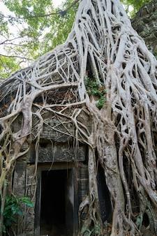 Świątynia angkor wat i drzewa