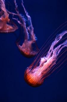 Świecąca pomarańczowa meduza chrysaora pacifica na głębokim fantomowym błękicie