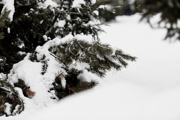 Świerk oddział pokryty śniegiem