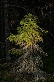 Świerk, oświetlony zachodzącym słońcem w lesie.