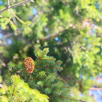 Świerk rozgałęzia się na lasowym tle.