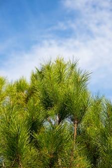 Świerk zielony, sosny na tle błękitnego nieba, widok z dołu do góry. wiecznie zielone drzewo, wiosna