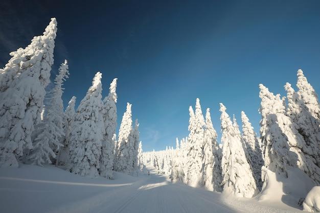 Świerki pokryte śniegiem na szczycie góry o zachodzie słońca