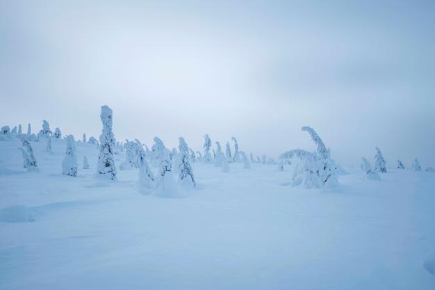 Świerki pokryte śniegiem w parku narodowym riisitunturi, finlandia