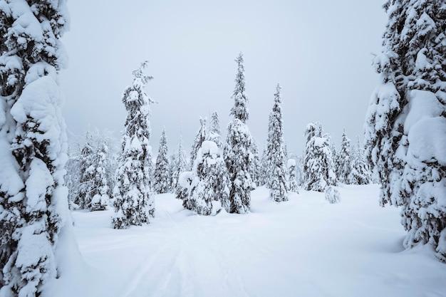 Świerki pokryte śniegiem w parku narodowym riisitunturi w finlandii