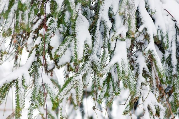 Świerkowe gałęzie pokryte są śniegiem.