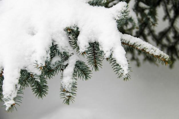 Świerkowe gałęzie pokryte śniegiem