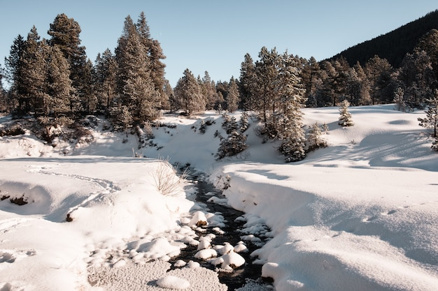 Świerkowy las zimą pokryty śniegiem