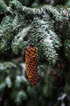 Świerkowy stożek zwisający z śnieżnej gałęzi
