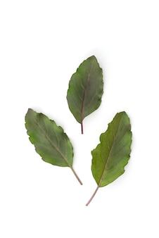 Święta bazylia lub zielone liście ocimum tenuiflorum isolated.top view, flat lay.