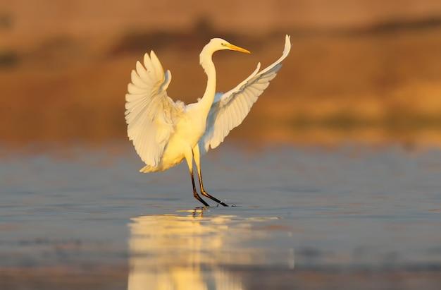 Świetna biała czapla w niesamowitym miękkim świetle poranka. świetna biała czapla lądująca na wodzie wczesnym rankiem. niezwykła perspektywa i miękkie poranne światło.