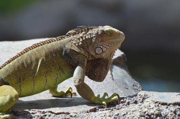 Świetnie wyglądająca iguana pospolita na arubie.