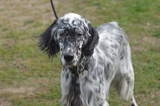 Świetnie wyglądający pies seter angielski o uroczej buzi.