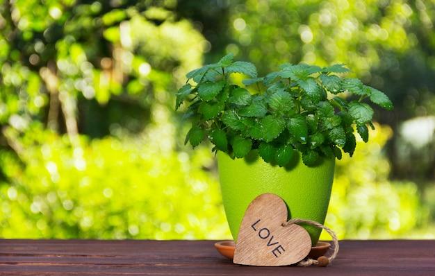 Świeża aromatyczna mięta. nowy krzak na zieleni zamazanym tle.