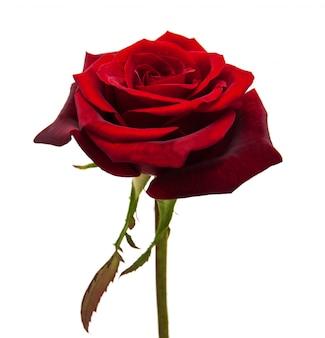 Świeża czerwona róża