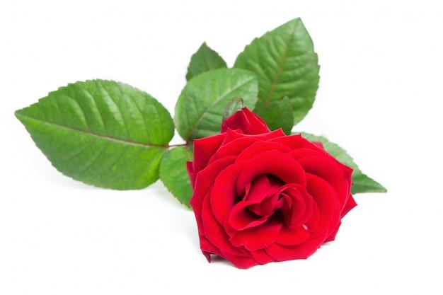 Świeża czerwona róża.