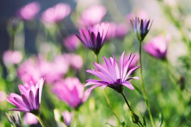 Świeża dzikiego kwiatu niebieskiego oka stokrotka na zamazanym natury tle.