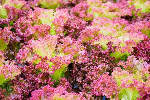 Świeża ekologiczna sałata z czerwonych liści lollo rossa w systemie uprawy warzyw hydroponicznych